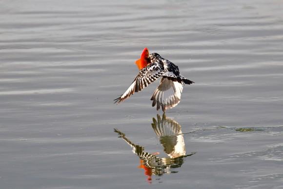 הפרפור העקוד רגע אחרי תפיסת הדג