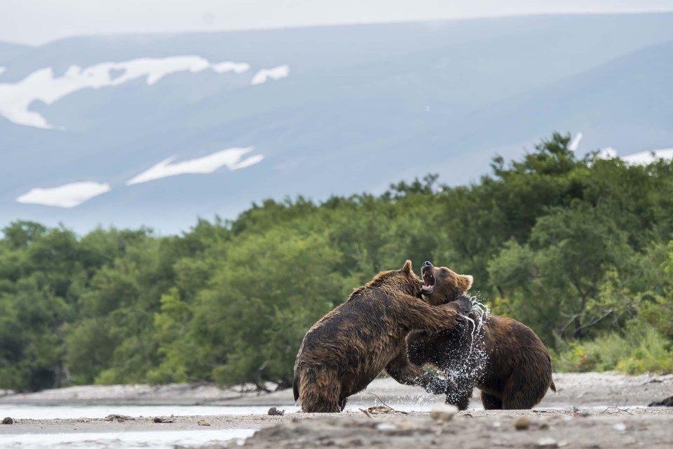 דובים משחקים באגם קוריל