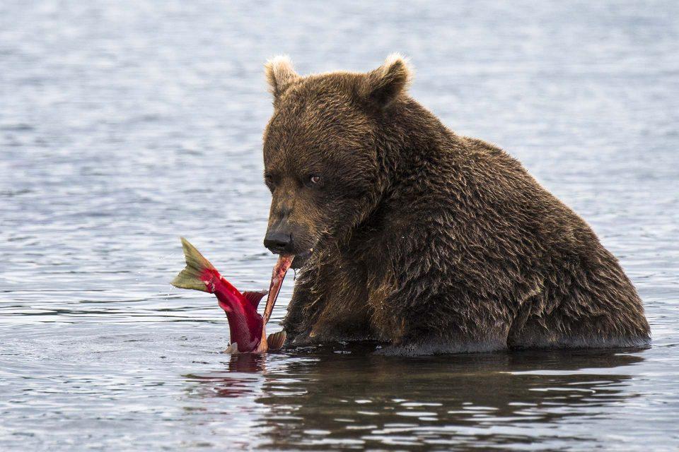 דוב אוכל סלמון, אגם קוריל