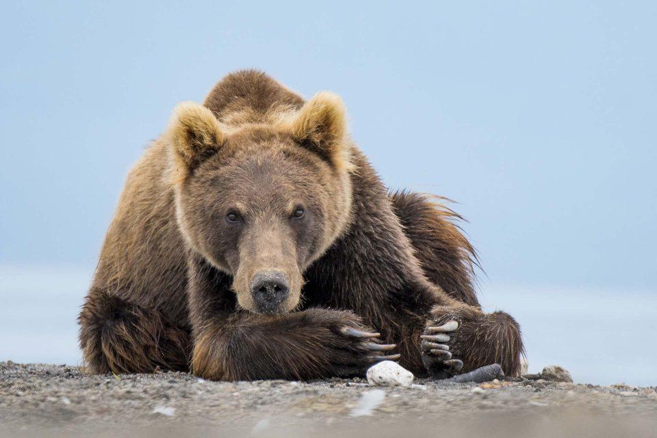 דוב אגם קוריל